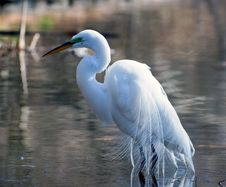 Free Great White Egret Huning In A Lake Stock Photos - 5879023