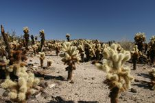 Free Cholla Cactus Royalty Free Stock Photos - 5879388