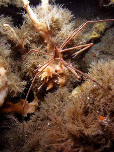 Arrow Crab Under Bridge Stock Photography