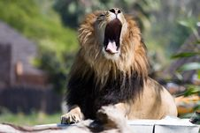 Free Roaring Lion Royalty Free Stock Photography - 5879957