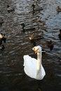 Free Graceful Swan In Front Of Mandarin Ducks Stock Photo - 5881550