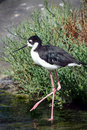 Free Black-necked Stilt Royalty Free Stock Images - 5884099