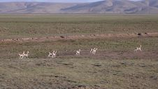 Free Oryx In Qinghai-Tibet Platean Stock Photography - 5880092