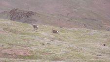 Free Oryx In Qinghai-Tibet Platean Stock Photo - 5880140