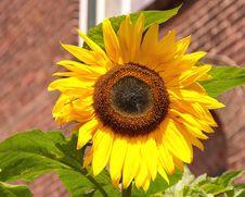 Free Sunflower Stock Photo - 5880440