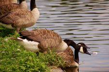 Free Geese Royalty Free Stock Photo - 5880515