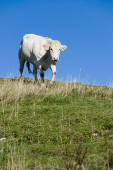 Free Cow Stock Photos - 5881543