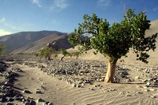 Free Stong-life Tree On The Sand Stock Photo - 5881870