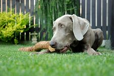 Free Weimaraner Pointer With A Stick Royalty Free Stock Image - 5882006