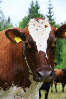 Free Cows Stock Photography - 5882332