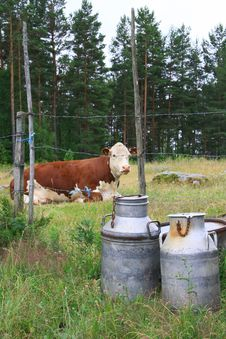 Free Cows Stock Photo - 5882660