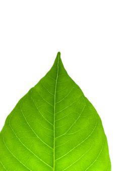 Free Green Leaf On White Royalty Free Stock Photos - 5882878