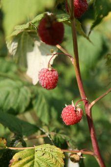 Free Raspberry Stock Photos - 5883133