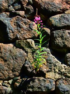 Free Flower Growing In Stones. Royalty Free Stock Photos - 5883688