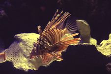 Free Lionfish Stock Photography - 5884152