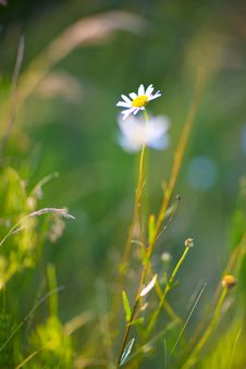 Free Chamomile In The Field Royalty Free Stock Photos - 5884628