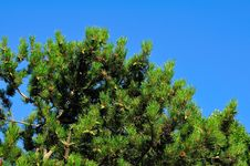 Free Mediterranean Pines Royalty Free Stock Images - 5885059