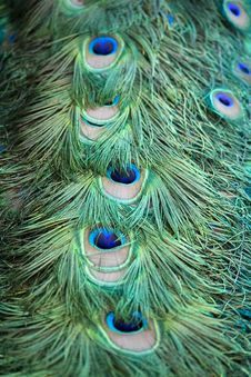 Free Peacock Feathers Royalty Free Stock Image - 5885116