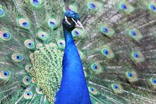Free Peacock Stock Photography - 5885122