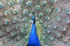Free Peacock Royalty Free Stock Image - 5885266