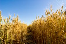 Free Barley Field Royalty Free Stock Images - 5885569