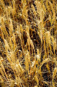 Free Barley Stock Image - 5885581