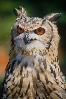 Free Beautiful Owl Royalty Free Stock Photos - 5886048