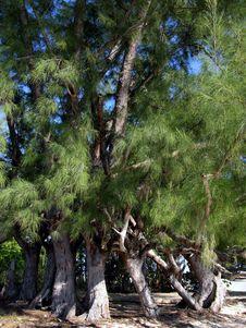 Free Dancing Trees Stock Photos - 5886453