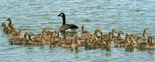 Free Canada Goose And Goslings Stock Photo - 5886720