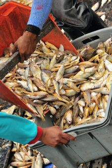 Heaps Of Fish Series 8 Stock Image