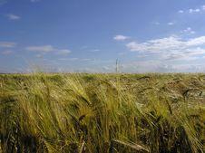 Free Wheat Field Royalty Free Stock Image - 5886906