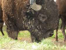 Free Bison Stock Photo - 5886990