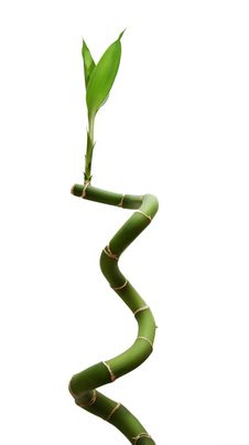 Free Lucky Bamboo Stock Images - 5887404