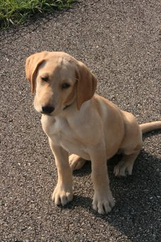 Free Yellow Lab Puppy Stock Photo - 5887850