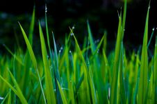 Free The Grass Covered With Dew Royalty Free Stock Photography - 5888107