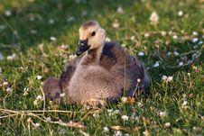Free Goose Baby Bird Royalty Free Stock Image - 5888376