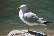 Free Seagull On A Rock Stock Photos - 5888403