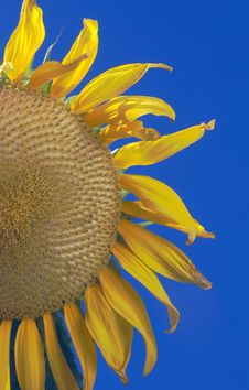 Free Giant Sunflower Stock Images - 5889064