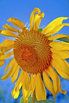 Free Giant Sunflower Royalty Free Stock Image - 5889066