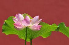 Free Perfect Lotus Royalty Free Stock Photos - 5889678
