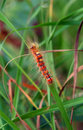 Free Red Hairy Caterpillar Royalty Free Stock Photo - 5893825