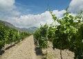 Free Vineyard Royalty Free Stock Photos - 5898478