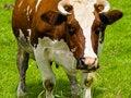 Free Cow Portrait Stock Photos - 5898543