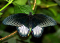 Free Black Butterfly Royalty Free Stock Image - 5898576