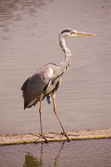 Free Grey Heron Stock Photo - 5890020