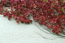 Free Red Leaves Crippers On White Wall Royalty Free Stock Photography - 5890067