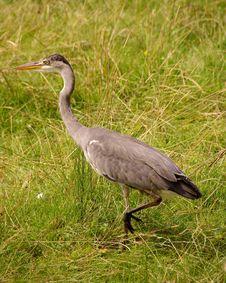 Free Grey Heron Stock Photography - 5890082