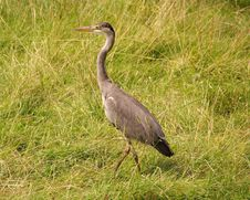 Free Grey Heron Royalty Free Stock Photo - 5890095