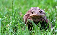 Free Toad In Grass Stock Photos - 5890113