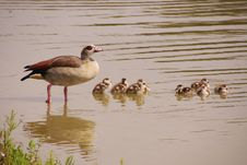 Free Geese Royalty Free Stock Photography - 5890697